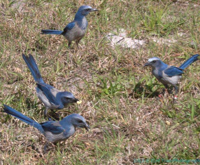 florida-scrub-jay-group
