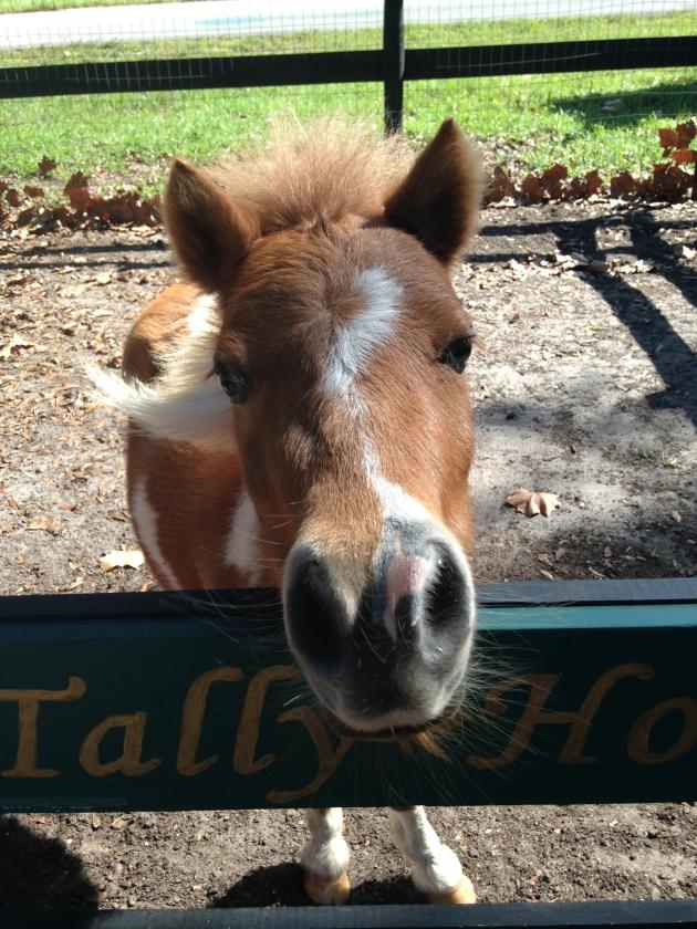 Miniture horse