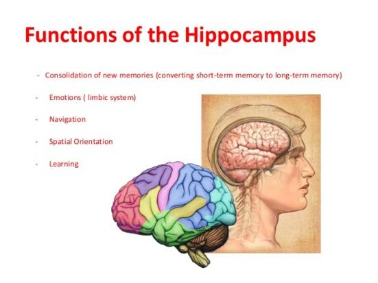 hippocampus-3-728