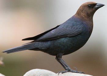 b-h-cowbird-male