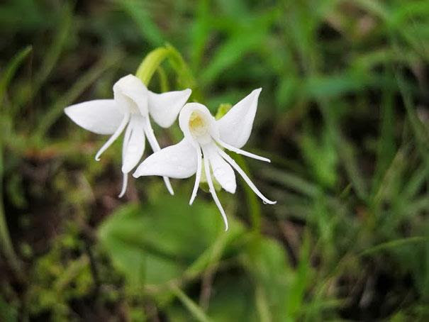 angel-orchid