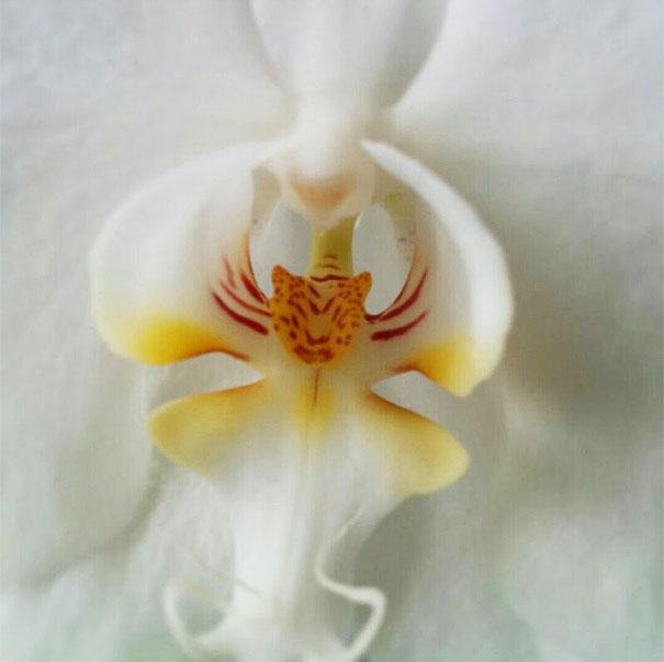 tiger-orchid
