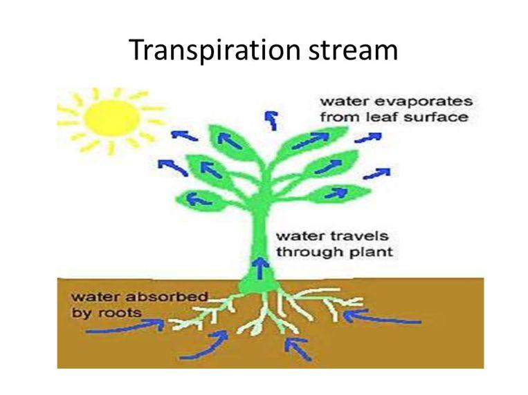 Transpiration stream