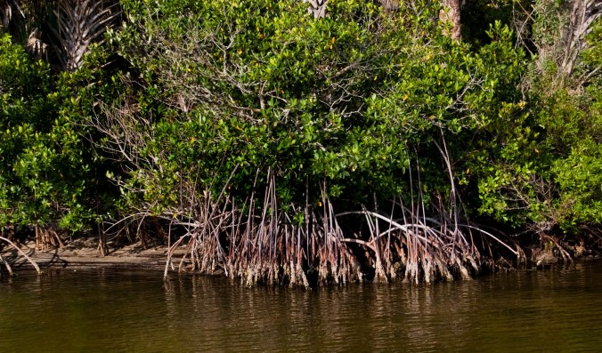 red-mangrove-roots