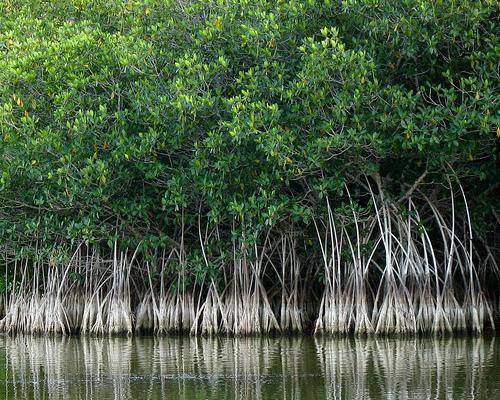 red-mangrove-swamp-2